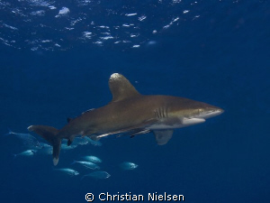Oceanic Whitetip on Daedalus Reef.
